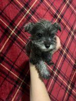 Miniature Schnauzer Puppies for sale in San Bernardino, CA, USA. price: NA