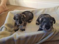 Miniature Schnauzer Puppies for sale in Manhattan, New York, NY, USA. price: NA
