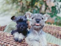 Miniature Schnauzer Puppies for sale in New York, NY, USA. price: NA