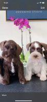Miniature Schnauzer Puppies for sale in Bridgeview, IL, USA. price: NA