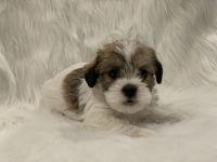 Miniature Schnauzer Puppies for sale in La Habra Heights, CA, USA. price: NA