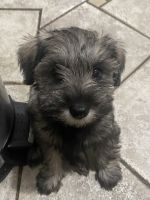 Miniature Schnauzer Puppies for sale in San Jose, CA, USA. price: NA