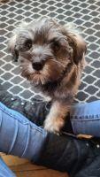 Miniature Schnauzer Puppies for sale in Stafford, VA 22554, USA. price: NA