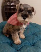 Miniature Schnauzer Puppies Photos