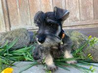 Miniature Schnauzer Puppies for sale in Camarillo, CA, USA. price: NA