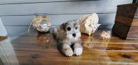 Miniature Schnauzer Puppies for sale in Miami, FL 33187, USA. price: NA