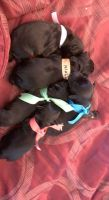 Miniature Schnauzer Puppies for sale in Middletown, DE, USA. price: NA