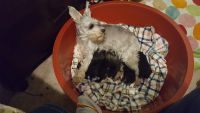 Miniature Schnauzer Puppies for sale in Jacksonville, FL, USA. price: NA