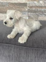 Miniature Schnauzer Puppies for sale in Bellflower, CA, USA. price: NA
