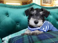 Miniature Schnauzer Puppies for sale in Roswell, GA, USA. price: NA