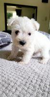 Miniature Schnauzer Puppies for sale in San Bernardino, CA 92411, USA. price: NA