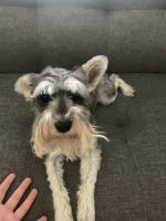 Miniature Schnauzer Puppies for sale in 18285 Kerrville Trail, Lakeville, MN 55044, USA. price: NA