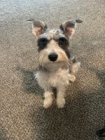 Miniature Schnauzer Puppies for sale in Wichita, KS, USA. price: NA