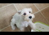 Miniature Schnauzer Puppies for sale in San Bernardino, CA 92408, USA. price: NA