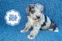 Miniature Schnauzer Puppies for sale in Tonopah, AZ 85354, USA. price: NA