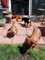 Miniature Schnauzer Puppies for sale in Kent, WA, USA. price: NA