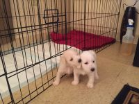 Miniature Schnauzer Puppies for sale in Manchester, KY 40962, USA. price: NA