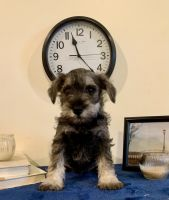 Miniature Schnauzer Puppies for sale in Shoals, IN 47581, USA. price: NA