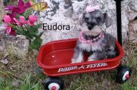 Miniature Schnauzer Puppies for sale in Vernal, UT 84078, USA. price: NA