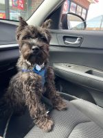 Miniature Schnauzer Puppies for sale in Parma Heights, OH 44130, USA. price: NA
