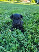 Miniature Schnauzer Puppies for sale in Catonsville, MD 21228, USA. price: NA