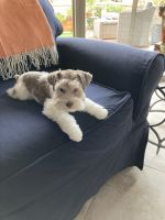 Miniature Schnauzer Puppies for sale in Green Valley, AZ, USA. price: NA