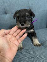Miniature Schnauzer Puppies for sale in North Charleston, SC 29406, USA. price: NA