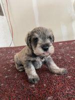 Miniature Schnauzer Puppies for sale in Albuquerque, NM, USA. price: NA