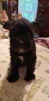 Miniature Schnauzer Puppies for sale in Brighton, MO 65617, USA. price: NA