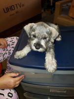 Miniature Schnauzer Puppies for sale in Hemet, CA, USA. price: NA