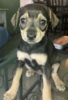 Miniature Schnauzer Puppies for sale in 11111 Clark Rd, Houston, TX 77076, USA. price: NA
