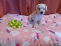 Miniature Schnauzer Puppies for sale in Alturas, CA 96101, USA. price: NA