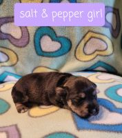 Miniature Schnauzer Puppies for sale in Defiance, OH 43512, USA. price: NA