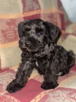Miniature Schnauzer Puppies for sale in Duarte, CA, USA. price: NA