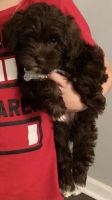 Miniature Schnauzer Puppies for sale in Vansant, VA, USA. price: NA