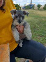 Miniature Schnauzer Puppies for sale in Amarillo, TX, USA. price: NA