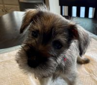 Miniature Schnauzer Puppies for sale in Las Vegas, NV 89147, USA. price: NA