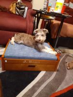 Miniature Schnauzer Puppies for sale in Riverview, Jacksonville, FL 32208, USA. price: NA