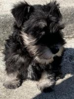 Miniature Schnauzer Puppies for sale in Fresno, CA 93725, USA. price: NA