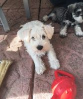 Miniature Schnauzer Puppies for sale in Los Angeles, CA, USA. price: NA