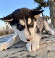 Miniature Siberian Husky Puppies for sale in Costa Mesa, CA, USA. price: NA