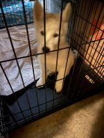 Miniature Siberian Husky Puppies for sale in Anaheim Hills, Anaheim, CA, USA. price: NA