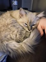 Minx Cats for sale in Concord, NC, USA. price: NA