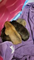 Mixed Puppies for sale in Fort Lesley J. McNair, DC 20024, USA. price: NA