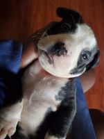 Mixed Puppies for sale in 321 W 104th Pl, Chicago, IL 60628, USA. price: NA