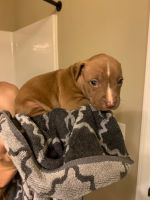 Mixed Puppies for sale in Piedmont, SC 29673, USA. price: NA