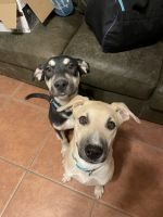 Mixed Puppies for sale in Glendale, AZ 85301, USA. price: NA
