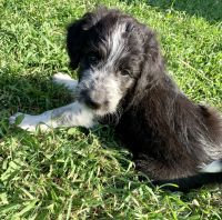 Mixed Puppies for sale in Devils Lake, ND 58301, USA. price: NA