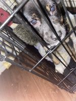 Mixed Puppies for sale in Waxahachie, TX, USA. price: NA