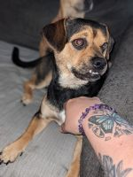 Mixed Puppies for sale in Reynoldsburg, OH, USA. price: NA